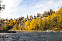 A bird flies over a bluff light by the late fall sun along the upper Kenai River.