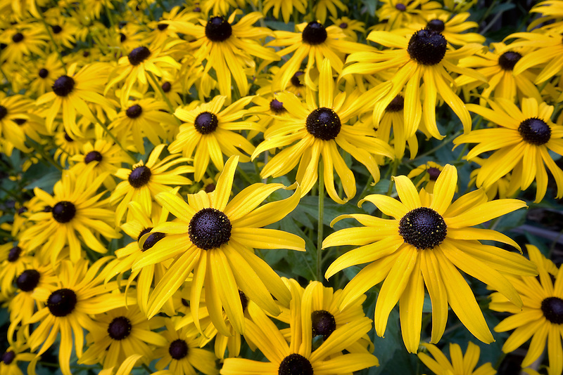 Black-eyed Susan flowers. Hughes Water Gardens, Oregon