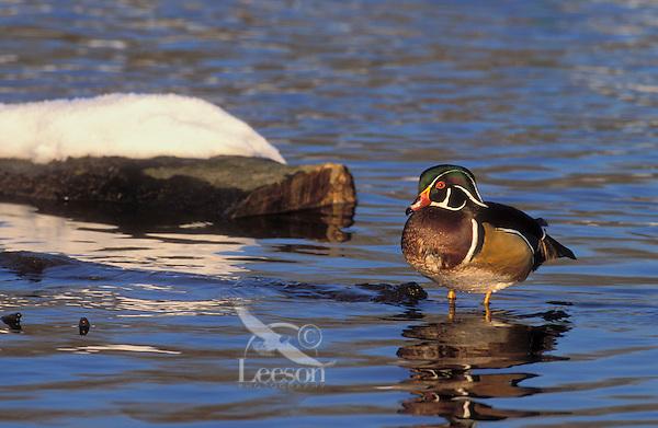 Wood Duck drake in spring snow..British Columbia, Canada..(Aix sponsa).