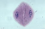 Meiosis I: Telophase I in Corn (Zea mays). LM