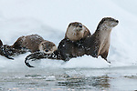 Northern river otters rest on the ice at Jackson Lake in Grand Teton National Park, Wyoming.
