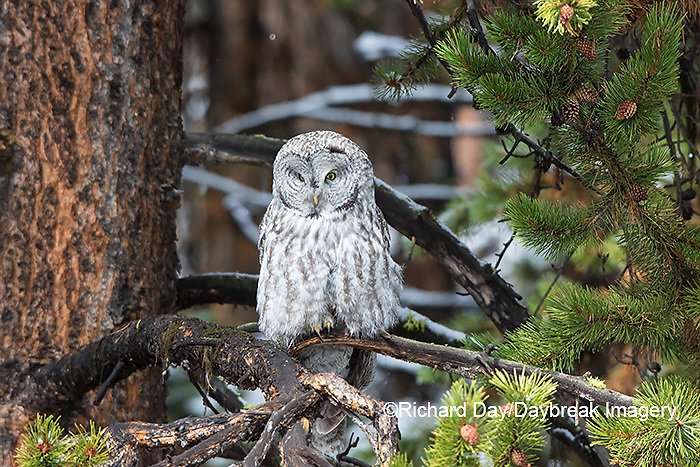 01128-00216 Great Gray Owl (Strix nebulosa)  Yellowstone National Park, WY