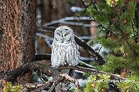 01128-00216 Great Gray Owl (Strix nebulosa)  Yellowstone National Park, WY
