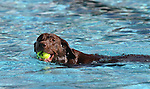 Cocoa enjoys the second annual Pooch Plunge at the Carson City Aquatic Center in Carson City, Nev., on Saturday, Sept. 18, 2010..Photo by Cathleen Allison