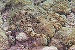 Octopus vulgaris, Common octopus, Roatan