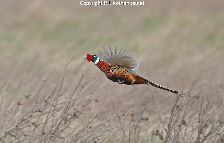 A male ring-necked pheasant flies over a field of dry grass.<br />