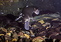 Platypus (Ornithorhynchus anatinus) finding yabby underwater. Queensland. Threatened species