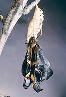 Tagpfauenauge, Falter, Imago schlüpft aus Puppe, Metamorphose, Entwicklungsreihe, Tag-Pfauenauge, Aglais io, Inachis io, Nymphalis io, peacock moth, peacock