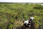 "With temperatures pushing 100 degrees and even hotter in the alligator nest, Wayne ""Hoho"" Brooks, in white, and Carl Nettles, mark and count over 40 alligator eggs as they harvest them from a nest on Lake Miccosukee July 19, 2007.  The two men were joined by a dozen others in six airboats and one helicopter from both the Florida Wildlife Commission and private gator farms collected 562 eggs at Lake Miccosukee 25 miles east of Tallahassee, Florida."