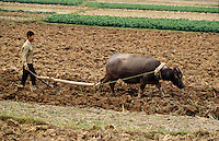 Asie/Vietnam/env d'Hanoi/Nhu Quynh: paysan labourant son champ avec son buffle
