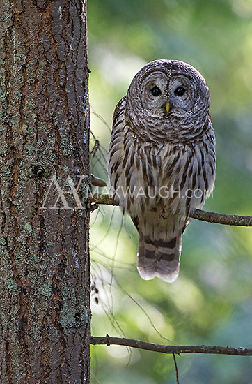 It was nice to spend some time photographing a pair of barred owls in Edmonds' Yost Park.