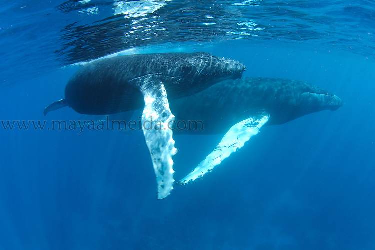 Humpback Whale known as Megaptera novaeangliae calf and mom portraits taken in Silverbanks in Turks and Caicos. This is where the Humpback whales come to mate and give birth annually in the Silver Banks