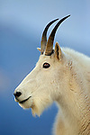 Rocky Mountain Goat