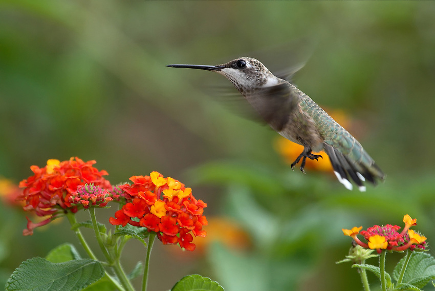 Black-chinned Hummingbird (Archilochus alexandri) and Lantana flowers.