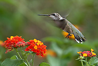 Black-chinned Hummingbird (Archilochus alexandri) and Lantana flowers.