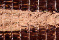 Treated Crocodile Skin, leather from Australia