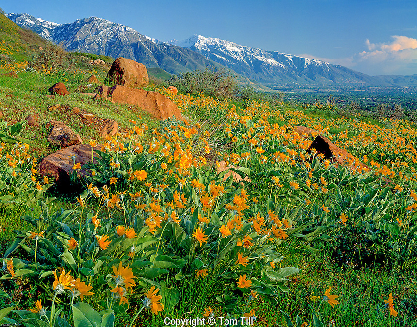 Balsamroot Flowers, Wasatch Mountains, Utah Wasatch National Forest  Near Red Butte Gardens in Salt Lake City    Balsamorhiza sp.