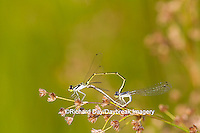 06326-00107 Fragile Forktail Damselfly (Ischnura posita) male and female mating in wetland, Marion Co., IL