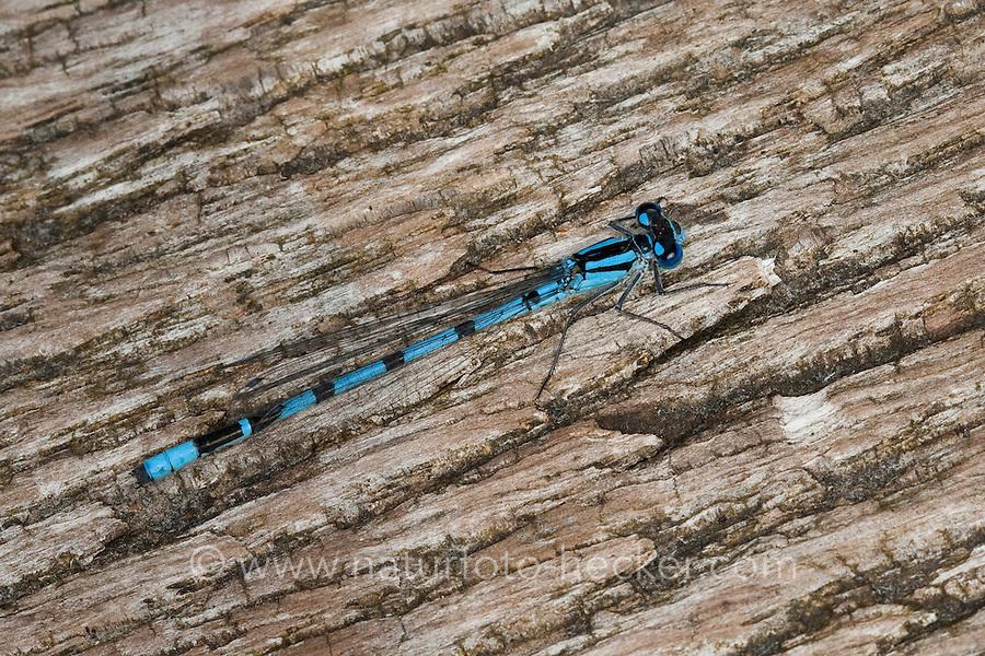 Becher-Azurjungfer, Becherazurjungfer, Becher - Azurjungfer, Männchen, Enallagma cyathigera, Enallagma cyathigerum, common blue damselfly, common bluet damselfly