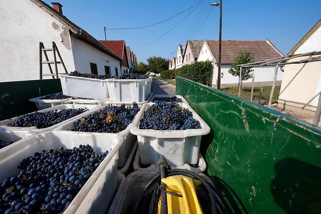 Grapes being harvested, Hajos (Hajós) Hungary