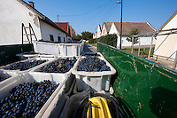 Grapes being harvested, Hajos (Hajós) Hungary