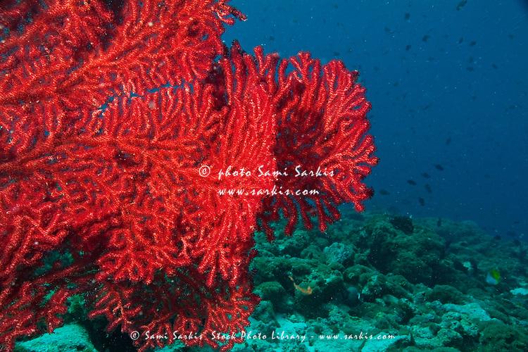 Bright red sea whip, Fish Head, Ari Atoll, Maldives.