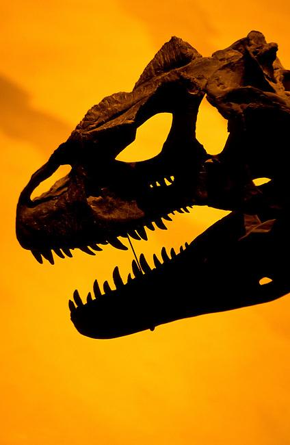 Tyrannus Rex dinosour skull at the Smithsonian Museum in Washington DC, USA