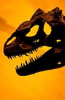 Tyrannus Rex dinosour skull at the Smithsonian Museum in Washington DC, USA