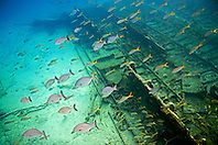 Schooling Bermuda or Yellow Chubs, Kyphosus sectatrix or incisor, and yellowtail snappers, Ocyurus chrysurus, over Sugar Wreck, the remains of an old sailing ship that grounded many years ago, West End, Grand Bahamas, Atlantic Ocean