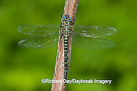 06370-001.01 Swamp Darner (Epiaeschna heros) male perched on branch, Clay Co.  IL