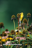 01640-04512 American Goldfinch (Carduelis tristis) male eating Purple coneflower seeds, Marion Co.   IL