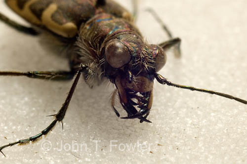 Tiger beetle close up
