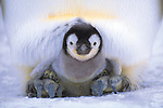 Near Antarctica's Patriot Hills, an emperor penguin chick balances on its parent's feet in a warm brood pouch to stay off the ice. The parents will shelter the chick for about six weeks until the chick can survive contact with the ice.