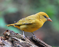 Adult female summer tanager in fall migration