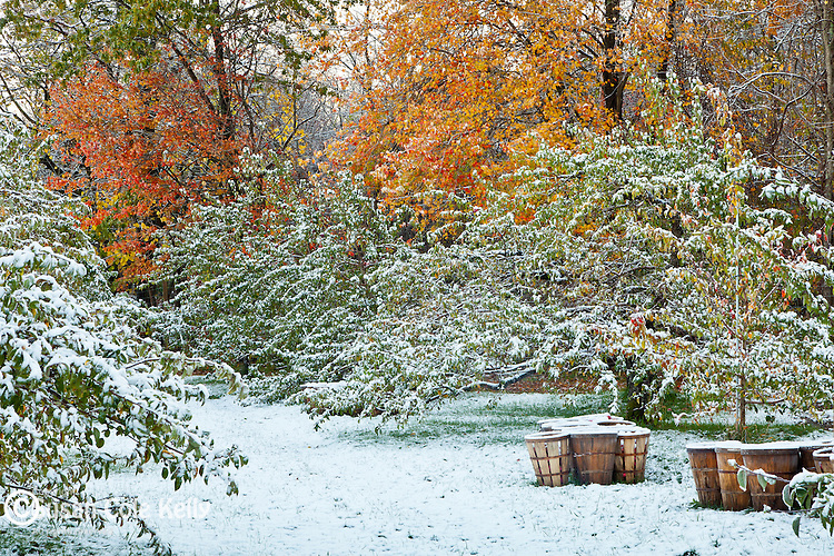Early snow at Phil's Apple orchard in Harvard, MA, USA