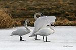 SWAN; trumpeter swan
