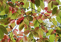 Bright vibrant colors of leaves on a fall tree canopy - Free Stock Photo.