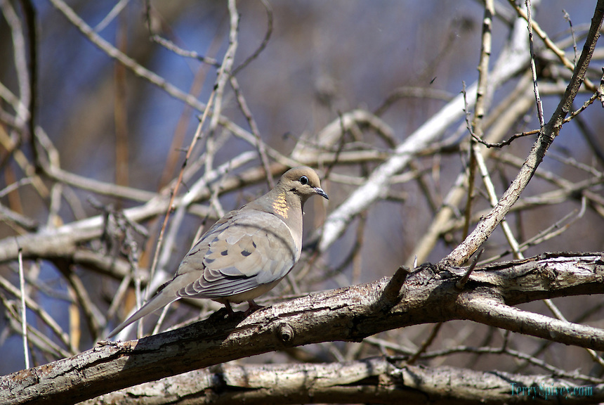 SONY DSC Mourning Dove