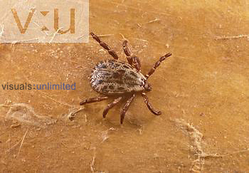 Adult male Rocky Mountain wood tick, Dermacentor andersoni. This species is the primary vector of Rocky Mountain spotted fever. This species also causes tick paralysis and can transmit tularemia, Colorado tick fever, and Q fever.