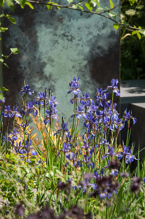 Iris sibirica 'Shirley Pope' in the Brewin Dolphin Garden, silver gilt medal winner at the Chelsea Flower Show, 2014. Designed by Matthew Childs.