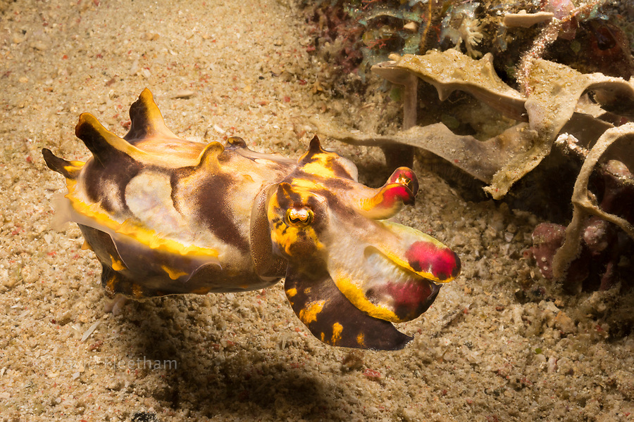 Colorful Pfeffer's flamboyant cuttlefish, Metasepia pfefferi, swimming above sand bottom, Philippines.