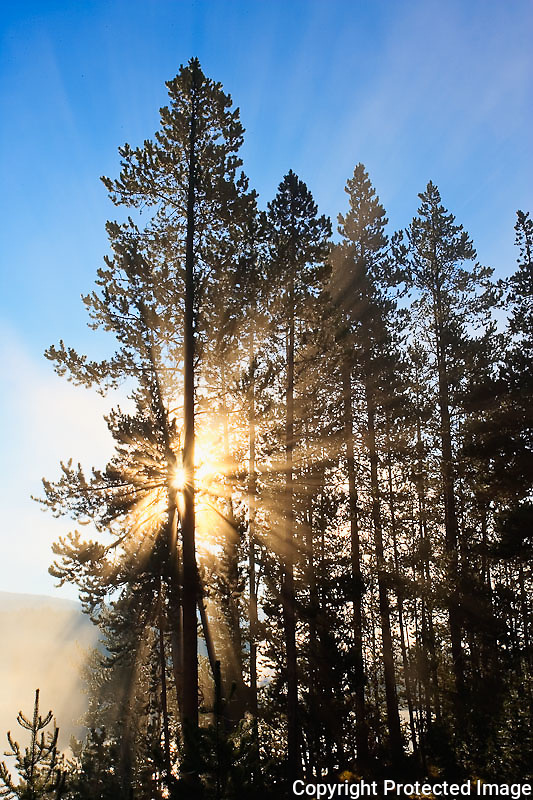 Sunlight filtering through Lodgepole pine tree at sunrise, Pinus contorta, Hayden Valley, Yellowstone National Park, Wyoming