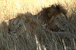 Lions in the tall grass