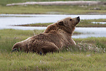 Adult Grizzly bear sniffing the air after taking an afternoon nap in Katmai National Park, Alaska