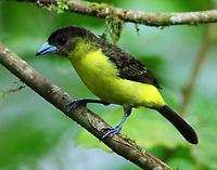 Female lemon-rumped tanager