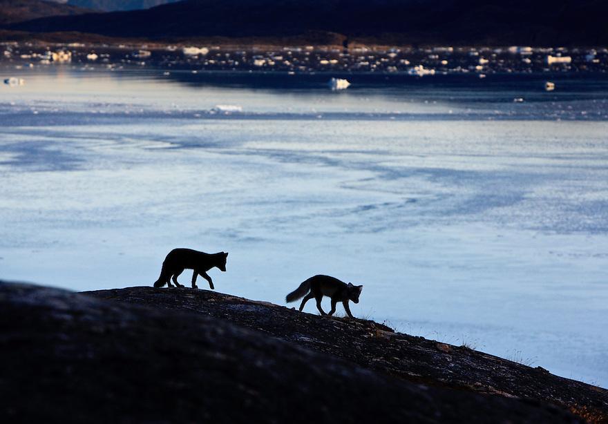 Greenland; Vulpes lagopus; Arctic Fox