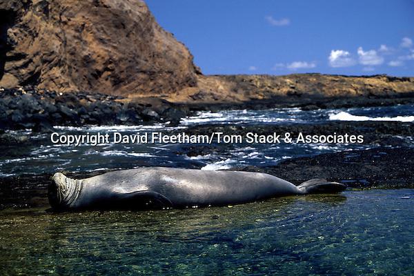 This Hawaiian monk seal [Monachus schauinslandi] (endemic and endangered) was photographed relaxing on Moku Ho'oniki, a small island off the east end of Molokai, Hawaii