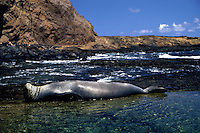 This Hawaiian monk seal [Monachus schauinslandi] (endemic and endangered) was photographed relaxing on Moku Ho'oniki, a small island off the east end of Molokai, Hawaii