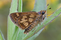 Peck's Skipper; Polites peckius; roosting on goldenrod; PA, Philadelpihia, Morris Arboretum