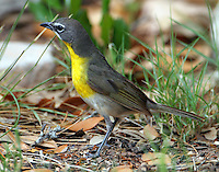 Adult yellow-breasted chat